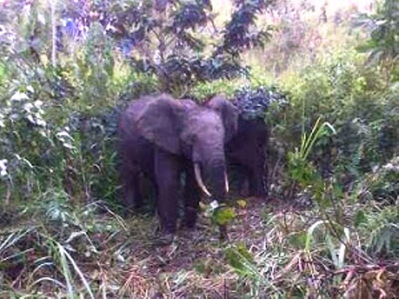 Deux d'éléphants retrouvés à Luozo (Kongo-Central). Ph. ICCN