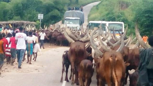 Vaches dans l'ex-Bandundu