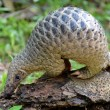 "(FILES) In this file photo taken on June 30, 2017, a juvenile Sunda pangolin feeds on termites at the Singapore Zoo. - The endangered pangolin may be the link that facilitated the spread of the novel coronavirus across China, Chinese scientists said on February 7, 2020. Researchers at the South China Agricultural University have identified the scaly mammal as a ""potential intermediate host,"" the university said in a statement, without providing further details. (Photo by ROSLAN RAHMAN / AFP)"
