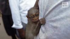 singes infectés par le virus à Ebola